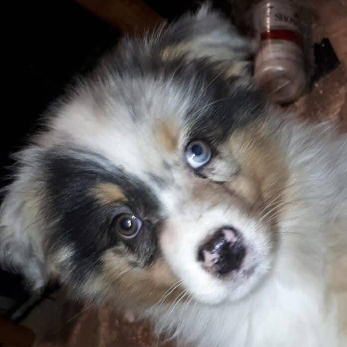Do Puppies Outgrow Lazy Eye?