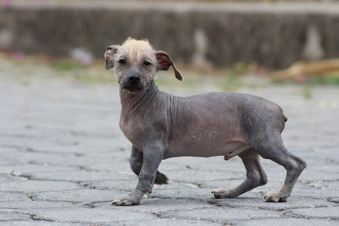 Things You (Probably) Didn't Know About Ecuadorian Hairless Dog