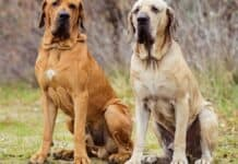 Dog Breeds with Droopy Jowls